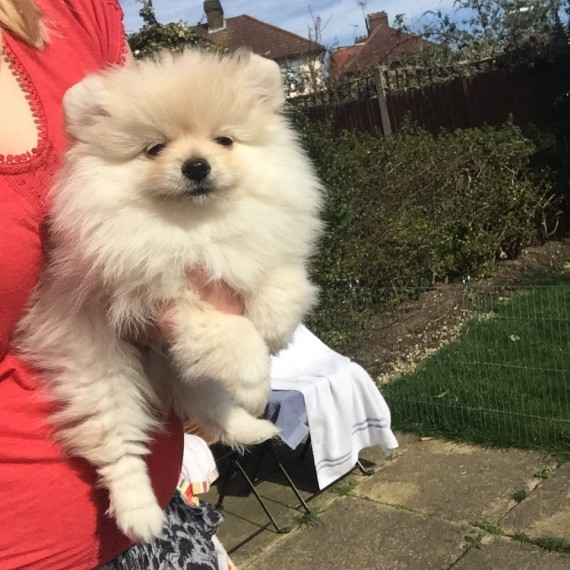 Baby face Pomeranian puppies available for re-homing.Call or Text Price : $