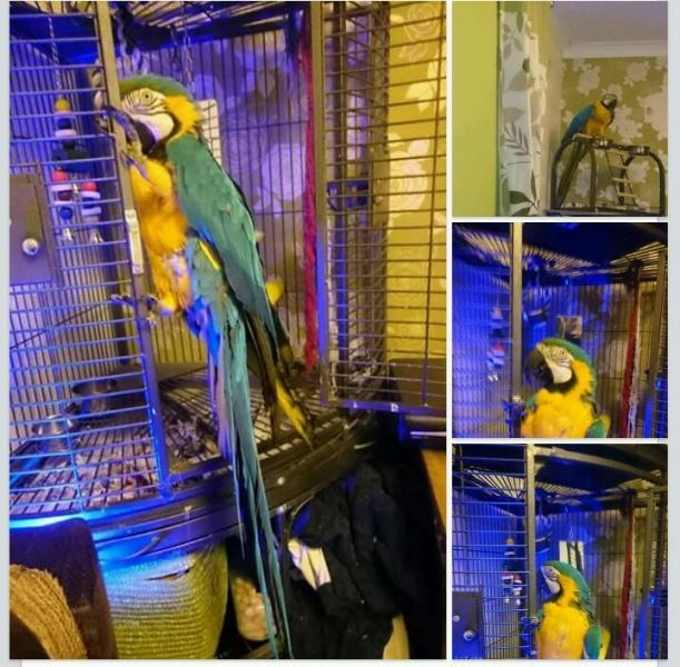 Super Tame baby Blue & Gold Macaw
