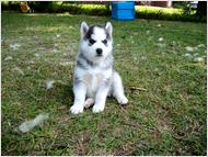 Blue Eyes Siberian Husky Puppies For Adoption