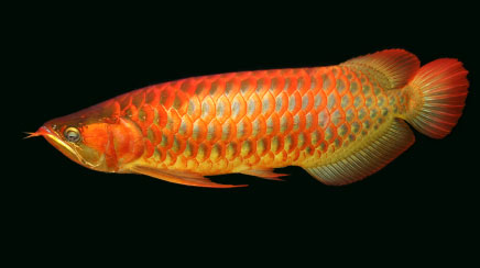 Super red,Golden,Chilli arowana fish and many other types  Available for sale.