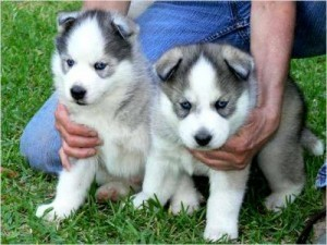 Two top Beautiful Siberian husky puppies ready for new family home