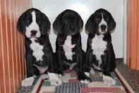 Great Dane Puppies now for new homes