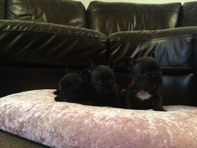Quality awesome french bulldog puppies for sale Text 443-563-1239