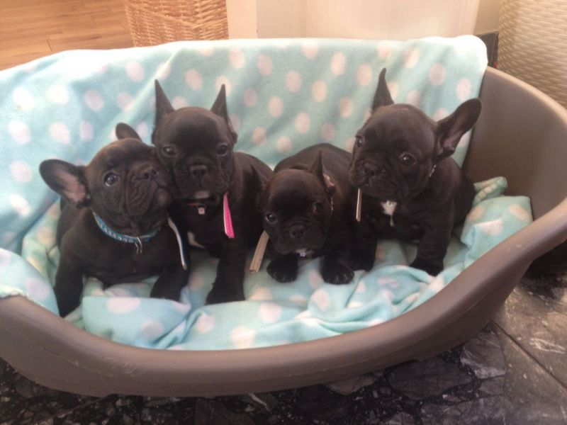 Superb Blue Pied French Bulldog Puppies