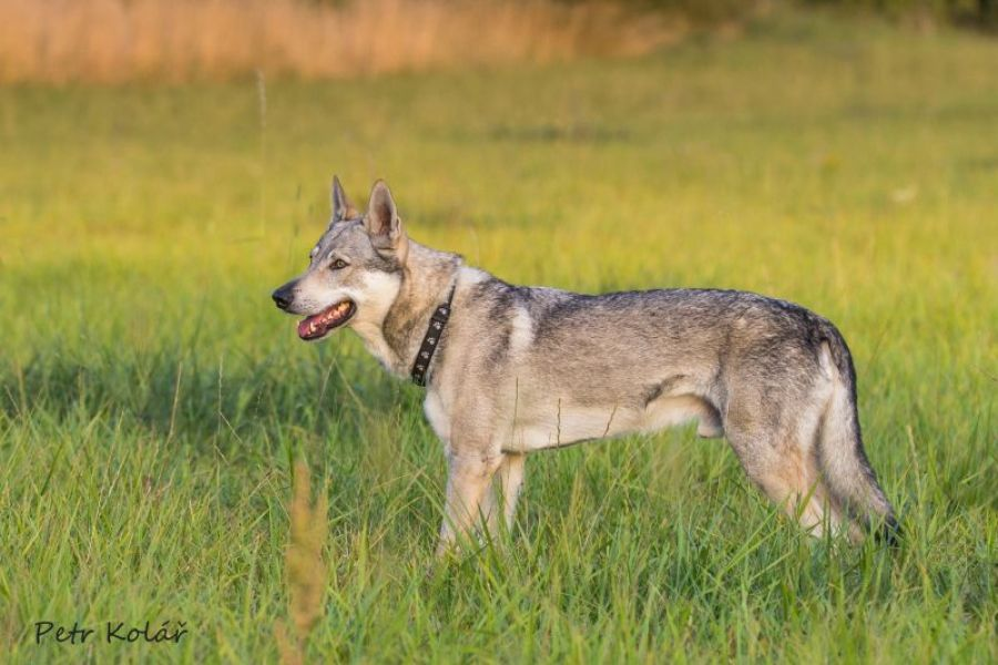 Czechoslovakian Wolfdog with pedigree