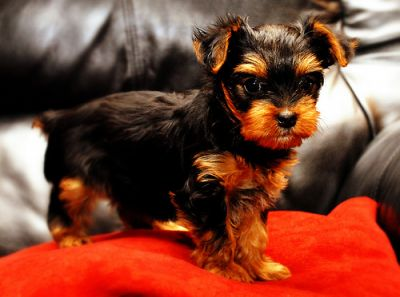 heathy yorkie puppies for free adoption