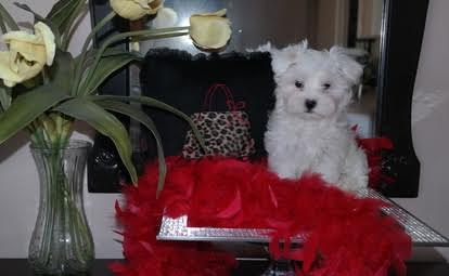 Gorgeous boy and girl Maltese puppies for sale