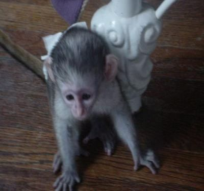 Two Baby Capuchin Monkeys Available
