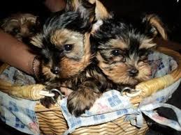Excellent Tea Cup Size Yorkie Puppies