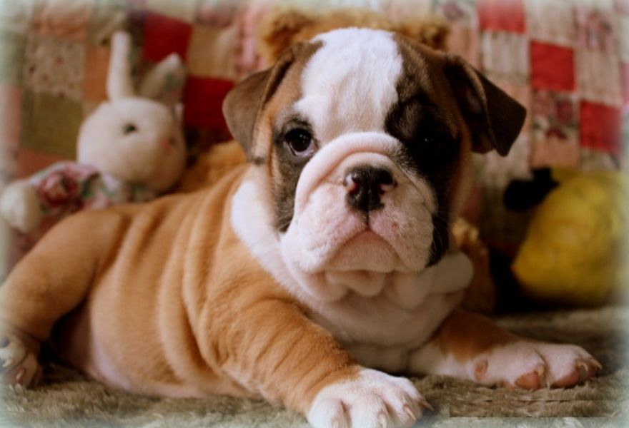 AFFECTIONATE ENGLISH BULLDOG PUPPIES AVAILABLE FOR FREE ADOPTION