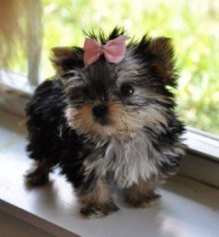 Two cute and good looking Teacup Yorkie puppies ready now for free adoption.