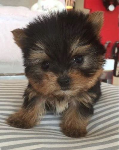 Potty Trained Teacup Yorkie Puppies Available Text To (301) 747-7051