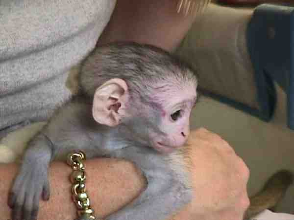 Cute baby capuchin monkey for adoption