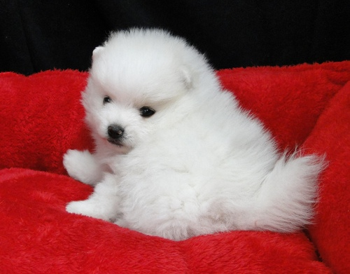 Teddy Bear Face White Pomeranian Puppies