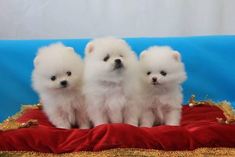 EXTREMELY TINY,GORGEOUS POMERANIAN PUPPIES CALL/TEXT(240) 542-7487.