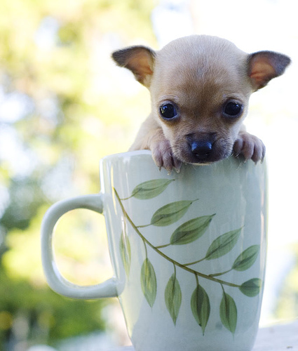 Breeders tea cup chihuahua puppy