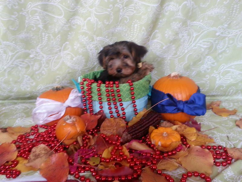 Micro Charming Teacup Yorkie Puppies For X-Mas
