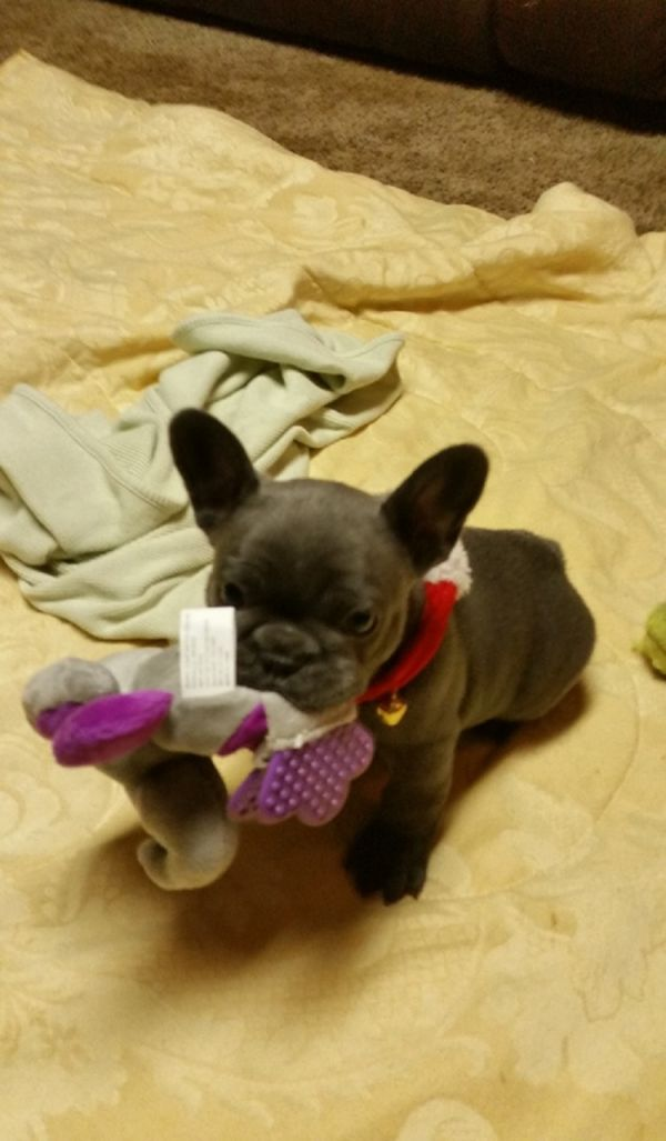 Available French Bulldog Pups For adoption