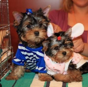 X-mas teacup yorkies for new homes