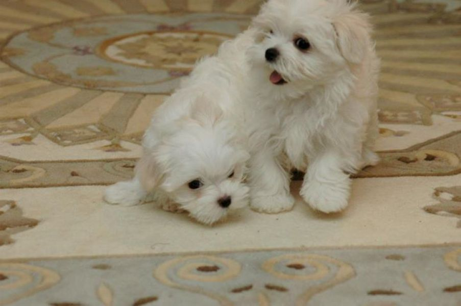 Xmas Teacup Yorkie , Pomeranian and maltese puppies avaiable contact (215) 826-5291!!!