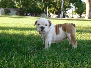 cute adorable english bull dog puppies for your home