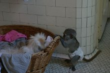 Socialized Capuchin monkeys