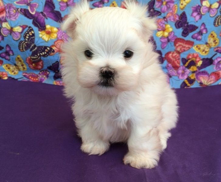 Adorable Maltese Puppies For Adoption Text (443) 990-1814