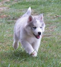 Siberian Husky Puppies For Adoption.