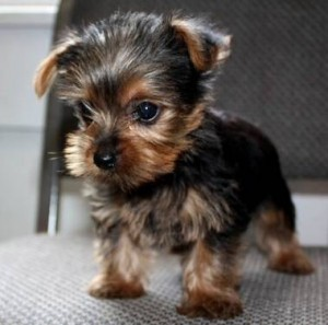 yorkie poo for adoption 2 male and female teacup yorkie puppies for free adoption 2875