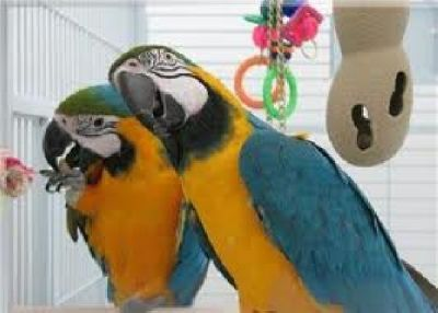 Well trained blue and gold macaw birds available