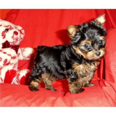 HEALTHY HOUSE TRAINED TEACUP YORKIE PUPPIES FOR ADOPTION
