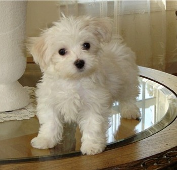 Males and Females Maltese Puppies For Adoption.