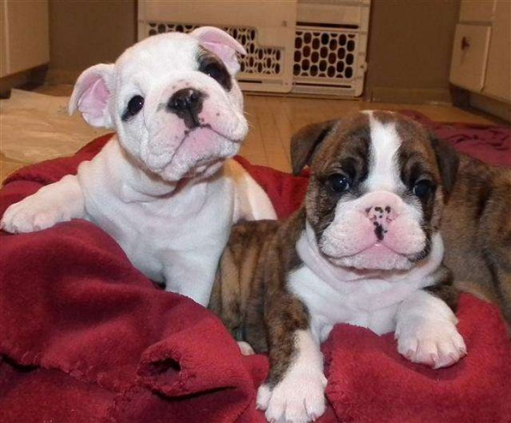 Gorgeous English Bulldog Puppies available (423) 330-1307