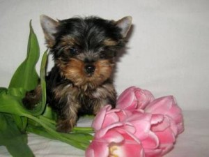 Mini Teacup Yorkie Puppies Available...