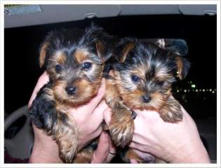 Yorkie puppies for free adoption now available