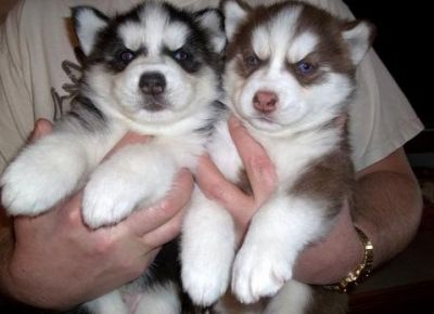 lovely and adorable Siberian husky puppies for adoption