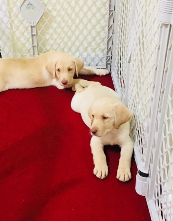 Available Labrador Retriever Pups For adoption