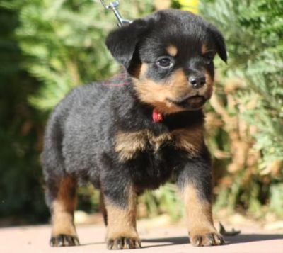 NICE Rottweiler Puppies for adoption