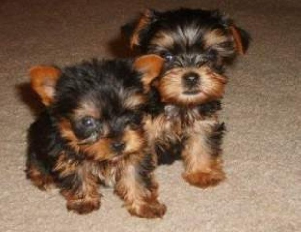 Home Raised Yorkshire terrier Puppies Ready sms at