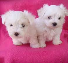 Adorable Cute Teacup Maltese puppies For Free Adoption