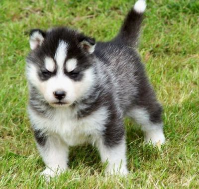 Cute Siberian Husky puppies for adoption.