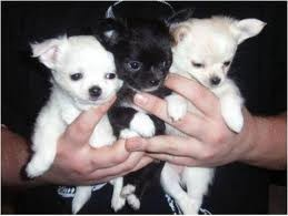 Cute and precious chihuahua puppies available