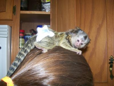 Marmosets and Capuchin Monkeys available contact (903) 496-5680