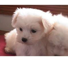 2.5lbs maltese puppies awaiting great families
