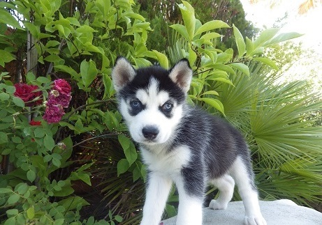 Registered Siberian Husky Puppies