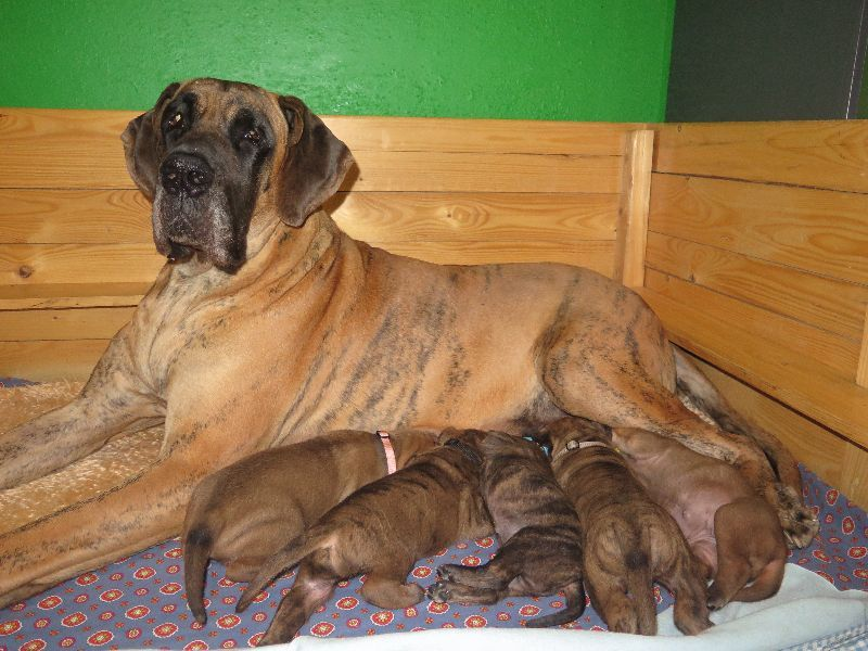 Great Dane – Puppies with pedigree for sale