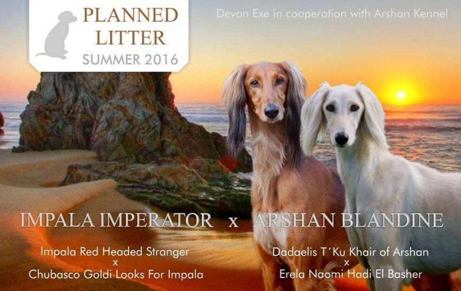 Saluki puppies kennel Devon Exe