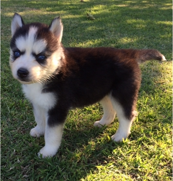 Adorable Blue Eyes Siberian Husky Puppies