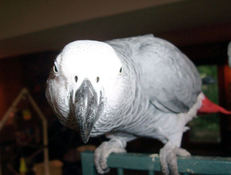 Tame Hand Reared African Grey Parrots