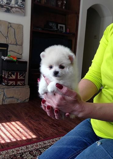 Purebred Pom puppies call/text (610) 713-8743